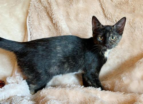 Mudslide, an adoptable Tortoiseshell & Domestic Short Hair Mix in Springfield, OR