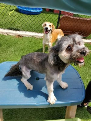 Dog for adoption - Paris, a Havanese in McDonough, GA