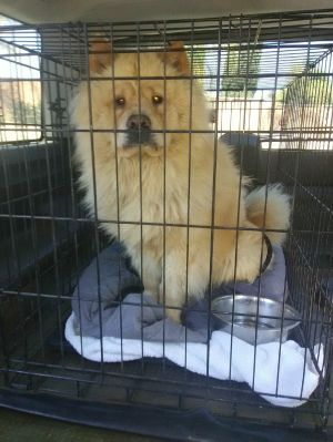 Leo has a new rescue now Chow Chow Dog