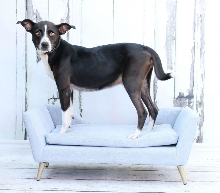 Miraculous Dog For Adoption Snow Anna White A Beagle Mix In Tyler Cjindustries Chair Design For Home Cjindustriesco