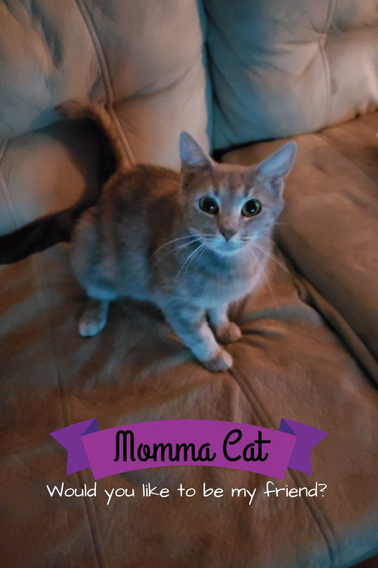 Momma Cat, an adoptable Domestic Short Hair in Fayetteville, NC