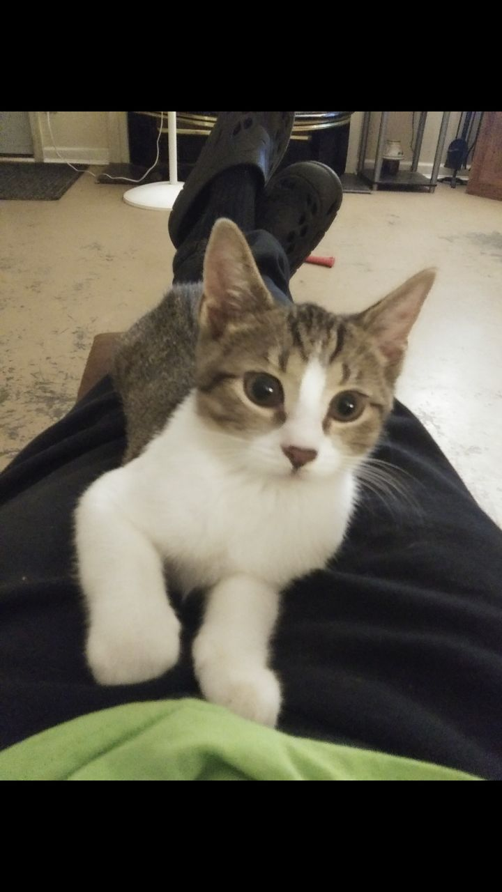 Cat for adoption - Soda, an American Shorthair in