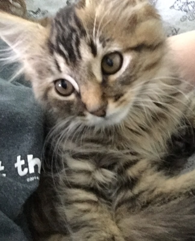 Cat For Adoption Lynx A Domestic Long Hair Tiger Mix In