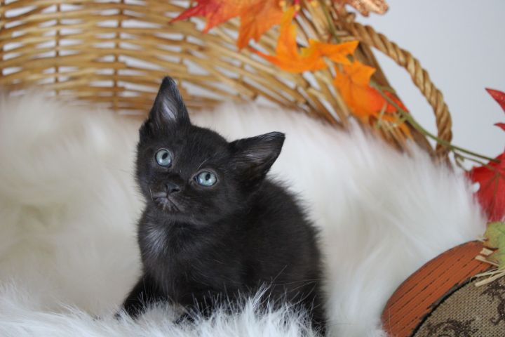 Nightshade, an adoptable American Shorthair Mix in Springfield, MO