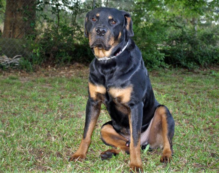 Tommy, an adopted Rottweiler in Carriere, MS