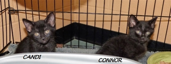 Connor, an adoptable Domestic Short Hair Mix in Louisville, KY