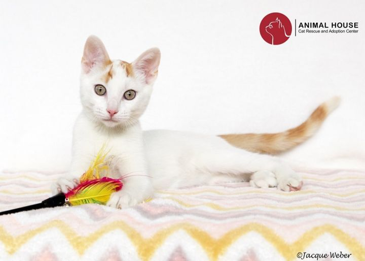 Blanco, an adoptable Domestic Short Hair in St. Louis, MO