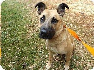 Dillon, an adoptable Shepherd Mix in Loxahatchee, FL