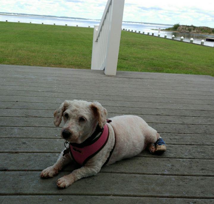 Dog for adoption - BIANCA, a Bichon Frise in Fairfax, VA