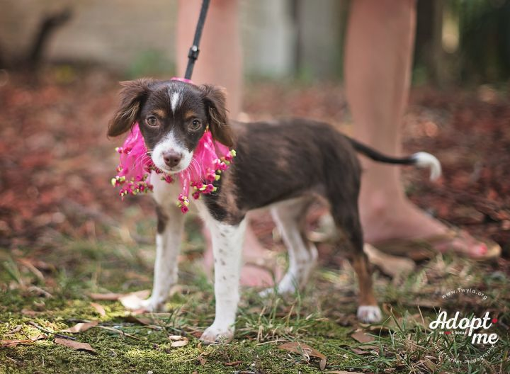 Victoria, an adopted Spaniel Mix in Kingwood, TX