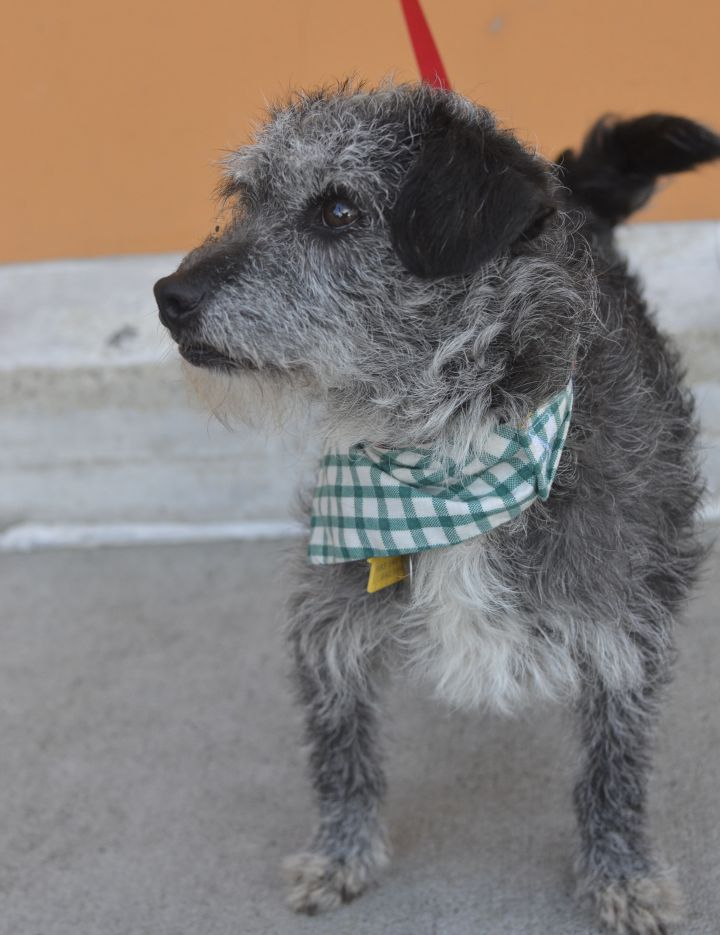 Dog for adoption - Princeton, a Dachshund & Cairn Terrier