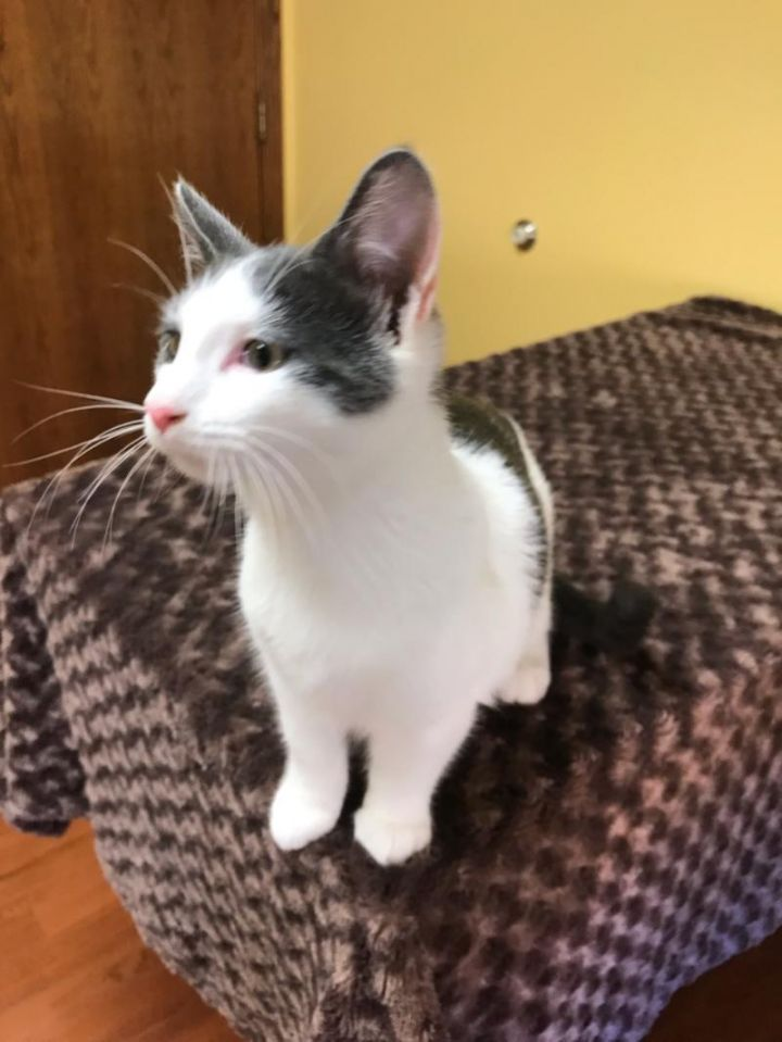 Ashton ADOPTED:), an adopted Domestic Short Hair in Waverly, IA