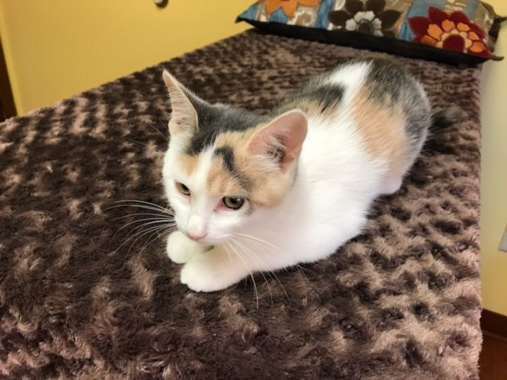 Leta ADOPTED:), an adopted Dilute Calico & Domestic Short Hair Mix in Waverly, IA
