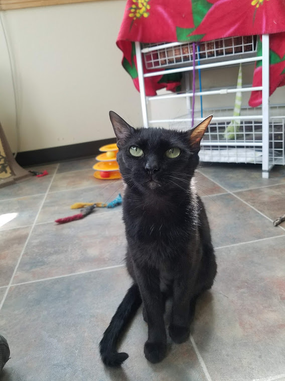 Joy, an adopted Domestic Short Hair in Ridgway, CO