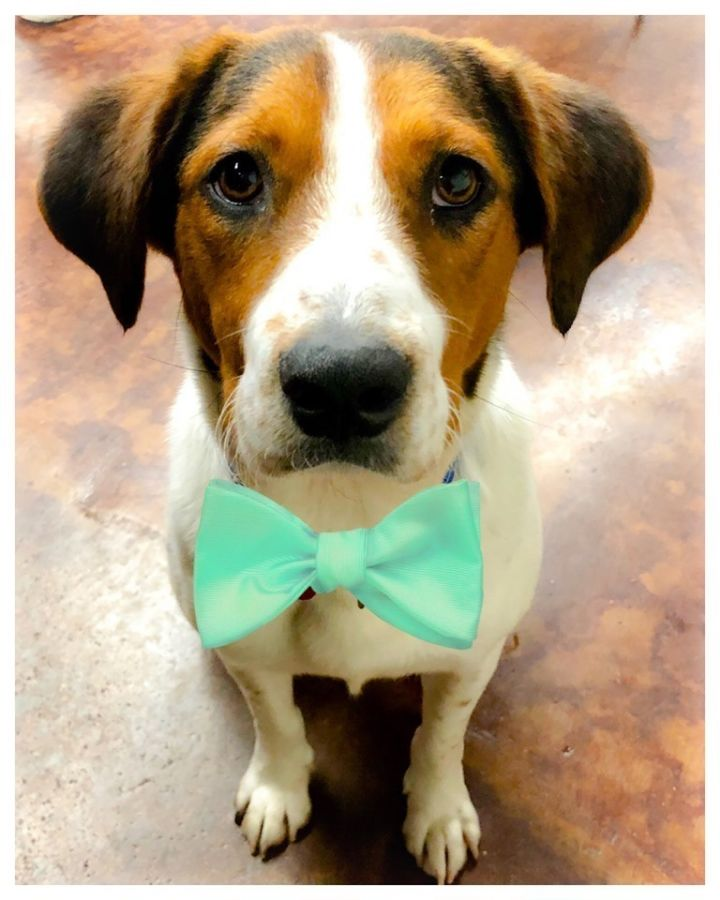 Dog for adoption - Leo Braveheart, a Hound Mix in Boston, MA