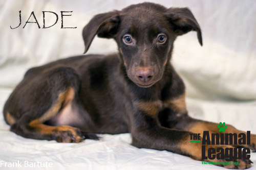 Jade, an adopted Labrador Retriever & Doberman Pinscher Mix in Clermont, FL