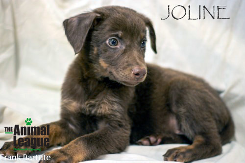Joline, an adopted Labrador Retriever & Doberman Pinscher Mix in Clermont, FL