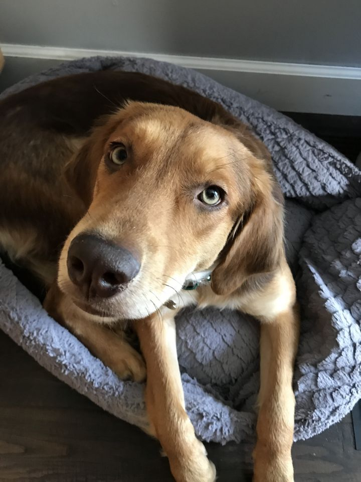 Rose' All Day, an adopted Retriever & Nova Scotia Duck Tolling Retriever Mix in Roselle, IL