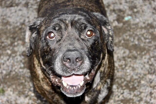 Dog for adoption - Bandit, a Mastiff Mix in Buffalo, NY