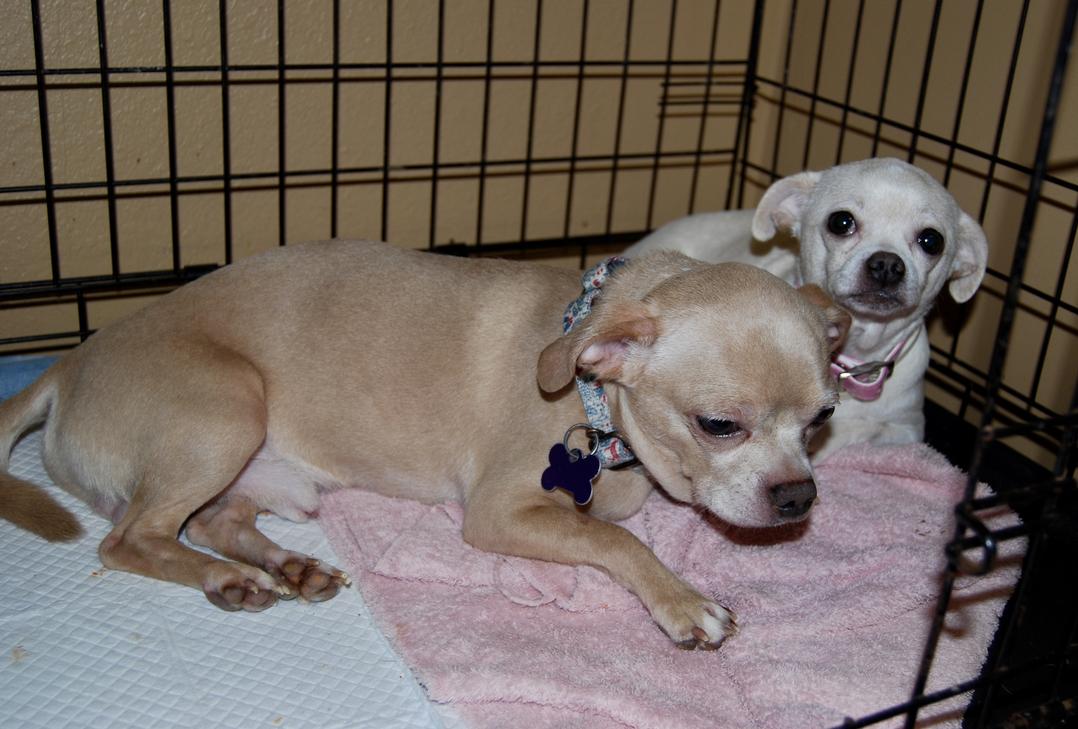 Dog for adoption - Frodo, a Chihuahua & Pug Mix in North