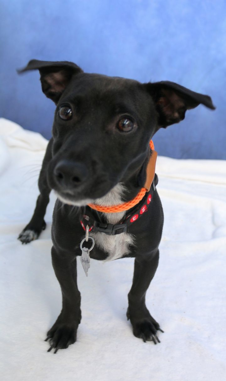 Dog for adoption - Centipede, a Chihuahua & Pit Bull Terrier