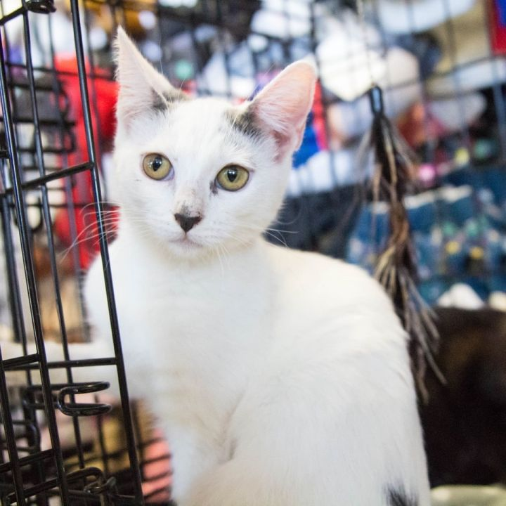 Angel, an adoptable Turkish Van Mix in Mission Viejo, CA