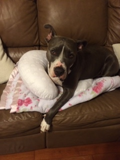 Emma, an adopted American Staffordshire Terrier in Mendham, NJ