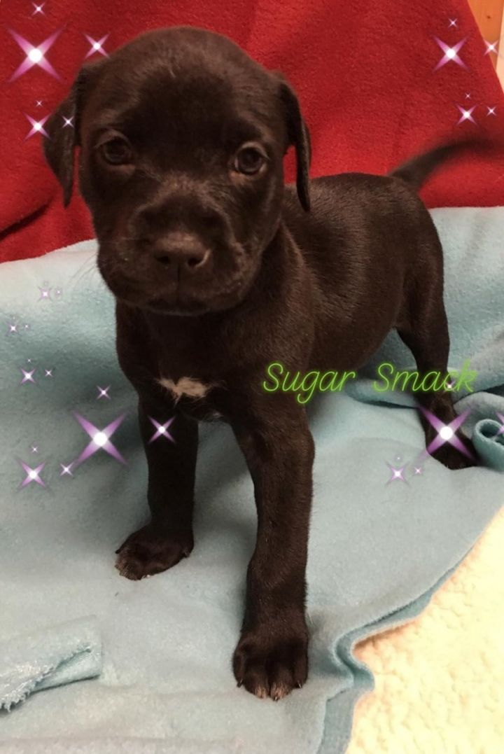 Dog for adoption - Sugar Smack, a Labrador Retriever Mix in