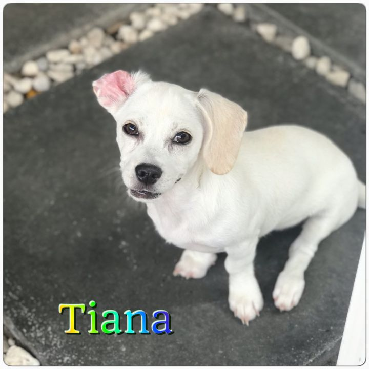 Tiana, an adopted Dachshund Mix in Hollywood, FL