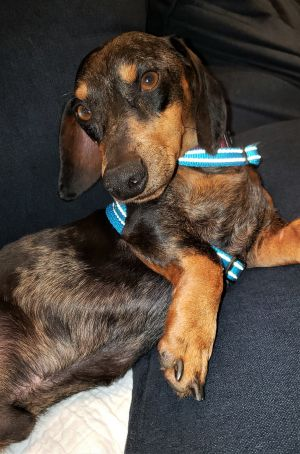 Dog for adoption - Hudson in PA, a Dachshund in Bethlehem