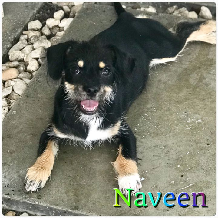 Naveen, an adopted Schnauzer Mix in Hollywood, FL