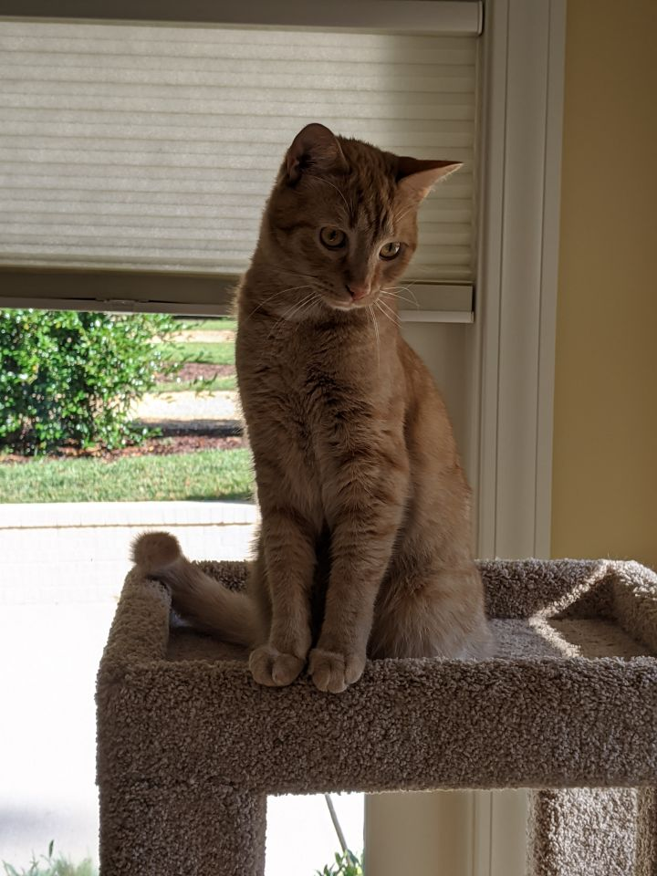 Colbert, an adoptable Tabby Mix in Waxhaw, NC