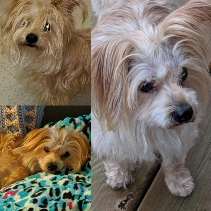 Dog for adoption - Harrison, a Yorkshire Terrier & Maltese