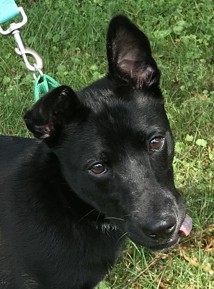 Liam, an adopted Labrador Retriever & Terrier Mix in Kittanning, PA