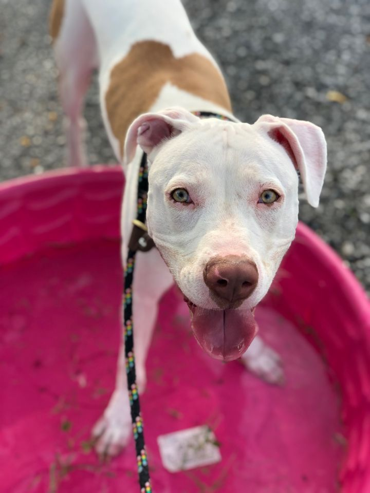 Cerulli, an adopted Pit Bull Terrier & Terrier Mix in Harrisburg, PA