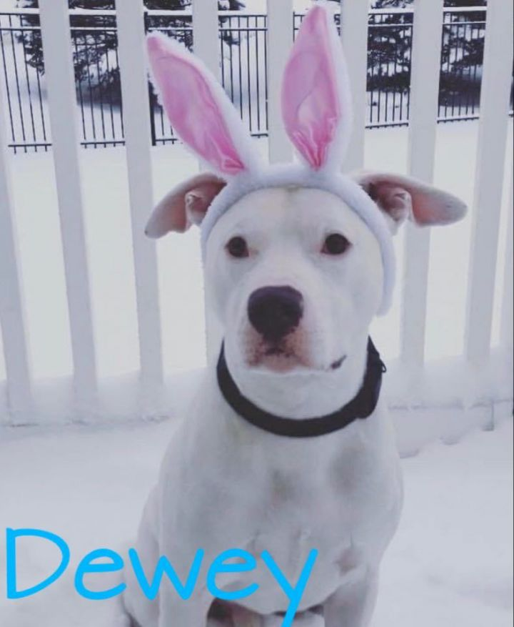 Dewey, an adoptable Pit Bull Terrier & American Staffordshire Terrier Mix in Plainfield, IL