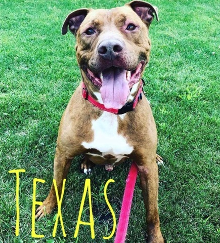 Texas, an adoptable American Staffordshire Terrier & Coonhound Mix in Plainfield, IL