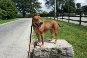 Scout - happy, confident, athletic, eager-beaver Bull Terrier Dog