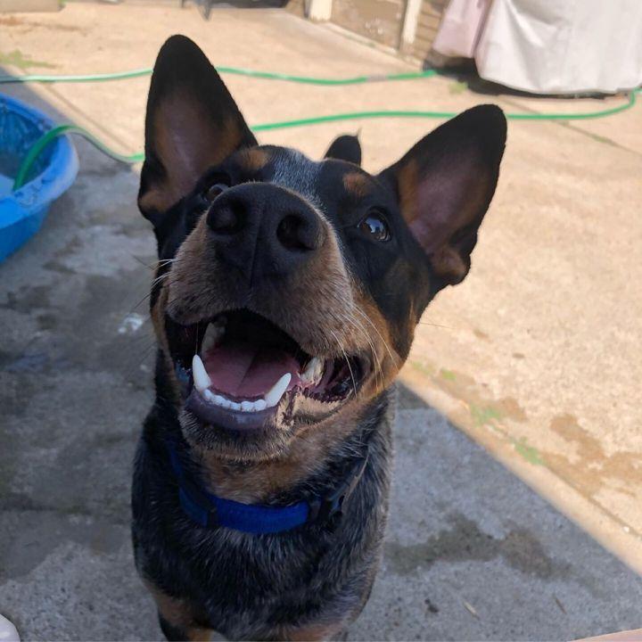 Dog for adoption - ANUBIS, an Australian Cattle Dog / Blue