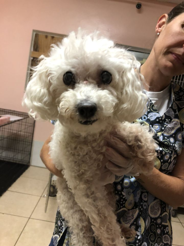 Agnes, an adoptable Poodle Mix in Boca Raton, FL