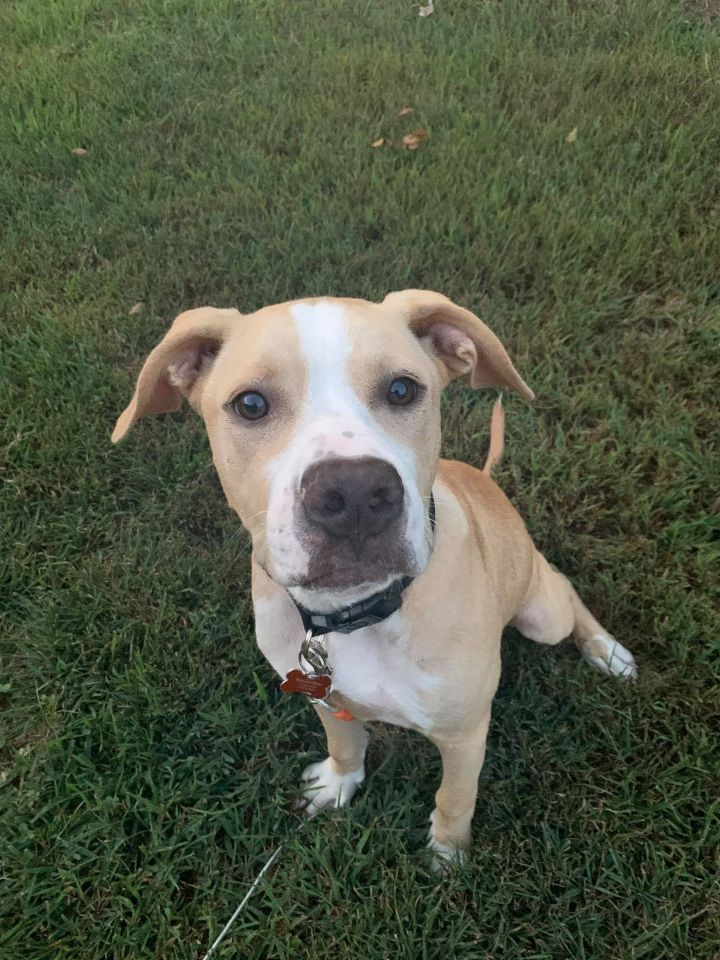 Larry, an adoptable American Bulldog Mix in Springfield, MO