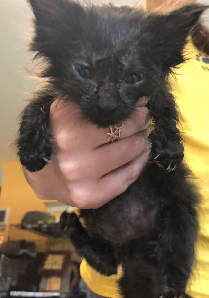 Licorice, an adopted Domestic Medium Hair Mix in Boca Raton, FL