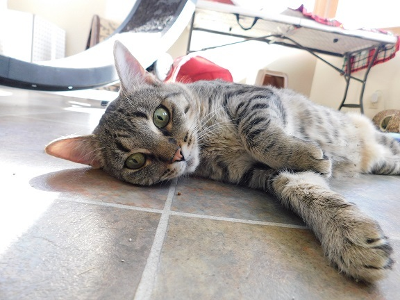 Butterfly, an adoptable Domestic Short Hair in Ridgway, CO