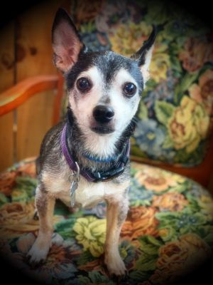 Dog for adoption - Ace and Harley, a Chihuahua in Sylva, NC
