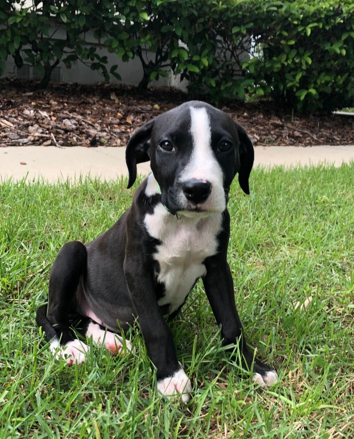 Murphy, an adopted Labrador Retriever & American Bulldog Mix in Orlando, FL