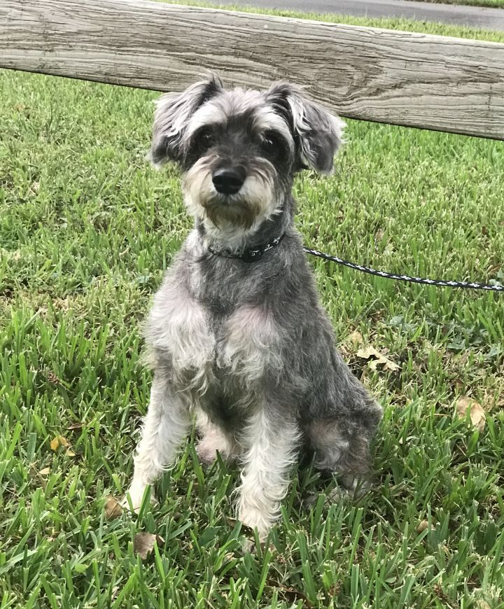 Vienna, an adopted Schnauzer in Davie, FL