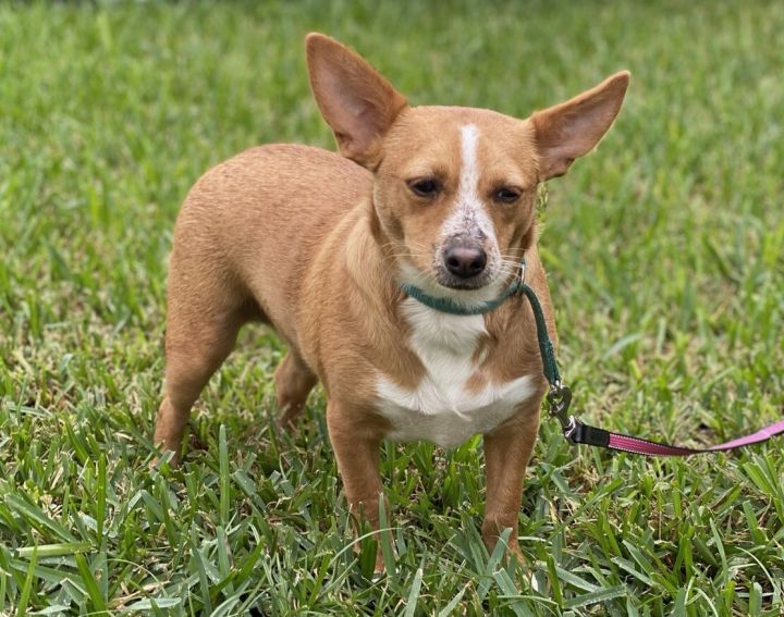 Remedy, an adopted Chihuahua & Corgi Mix in Davie, FL