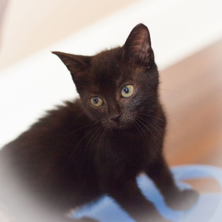Estella, an adopted Manx & Domestic Short Hair Mix in Ponte Vedra, FL