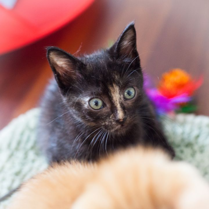 Edie, an adopted Manx & Tortoiseshell Mix in Ponte Vedra, FL