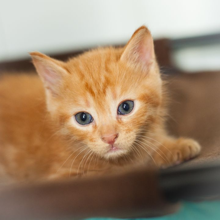 Edison, an adopted Manx & Domestic Medium Hair Mix in Ponte Vedra, FL